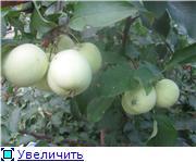 Яблоня: сорта и агротехника. 3ad65f661bdat