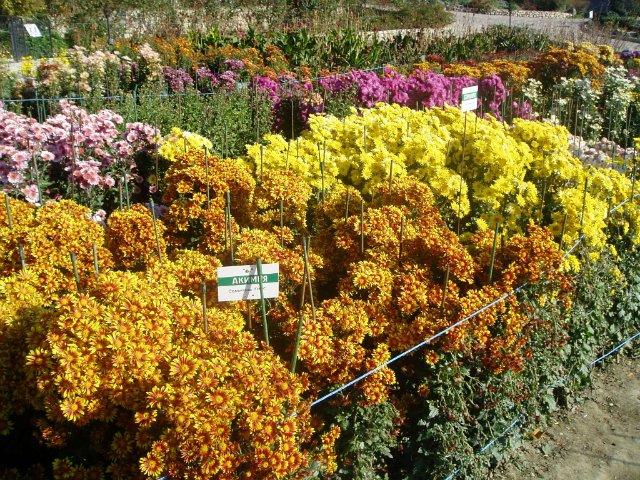 Парад хризантем в Никитском ботаническом саду. Крым  - Страница 2 F873adff32f1
