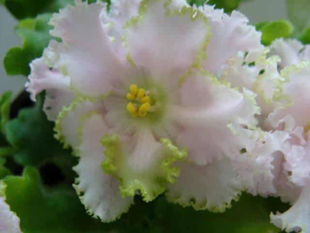 Мои цветочки - Страница 19 Aa8138b3cd11