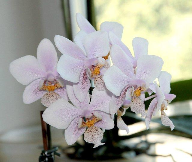 Орхидеи - Страница 13 E115a68a595c