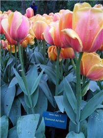 Рай тюльпанов или Кёкнхов - 2012 8c9ed5808fb1t