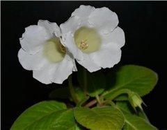 Семена глоксиний и стрептокарпусов продам D5cbce228e58t