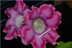 Семена глоксиний и стрептокарпусов продам A4e897e8894ct