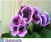 Пеларгония - прекрасная незнакомка 58fe6ebeb657t