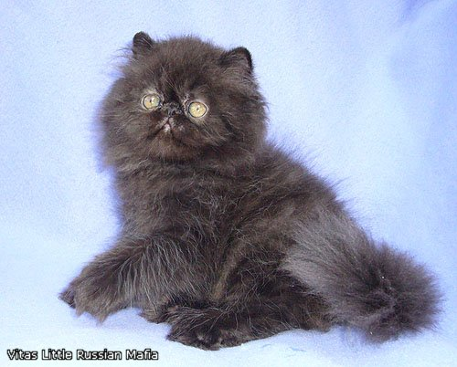 VITAS LITTLE - питомник персидских и экзотических кошек - Страница 4 34bcb7e10c0e