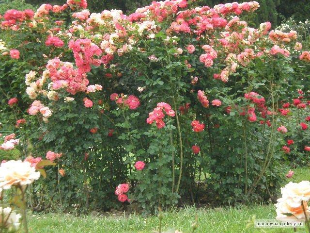 Крым. Никитский ботанический сад. 3066530417bd