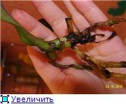 Реанимация орхидей. 37e6ce04c54ft