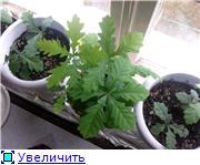 Выращивание дубов или Мои дубы E7b6ffec9251t