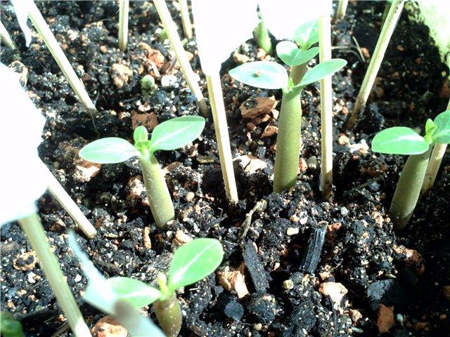 Адениумы из семян. 9c0af4f7bf8e