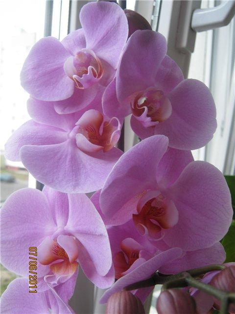 Разведение орхидей. - Страница 13 3fa9d1407c10