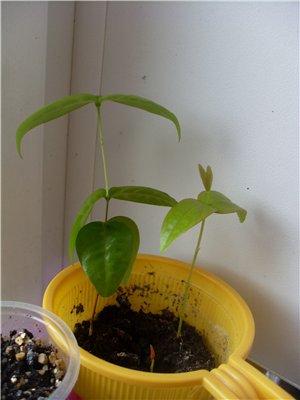 что я вырастила из семян - Страница 4 Bd948edd8865