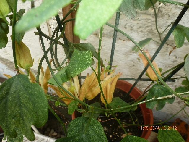 """Passiflora - Passionsblume - kleine """"Juwelen"""" - alles über Aussaat, Pflege, Vermehrung und natürlich Blütenbilder :) Zdmm6p9k"""