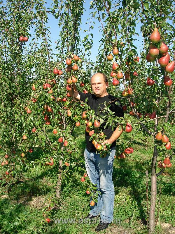 Плодовые деревья, ягодные кустарники - Страница 4 649f4c5be3f797da1b184fdec3862115