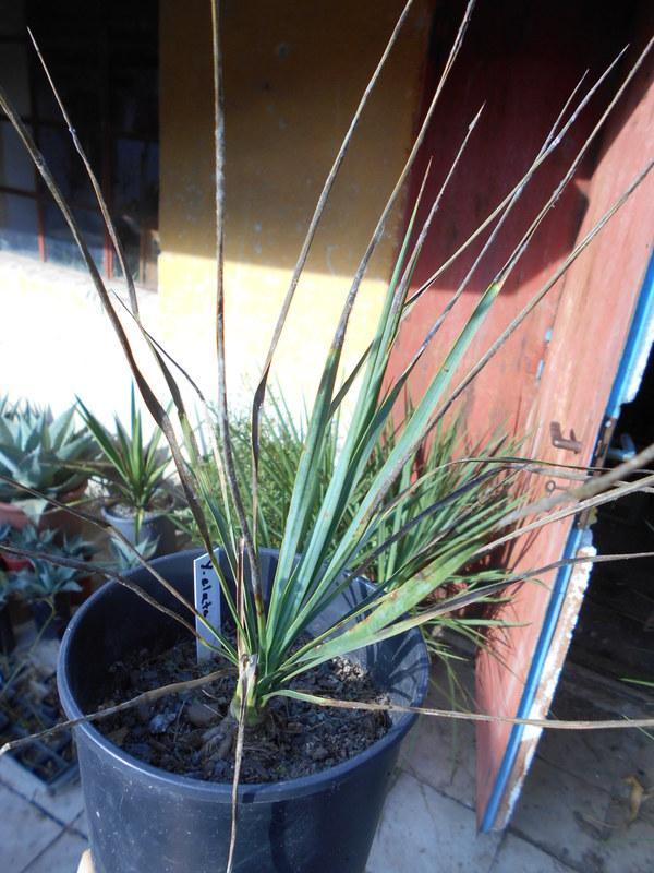 Mrazuodolné juky - rod Yucca - Stránka 5 DSCN0627