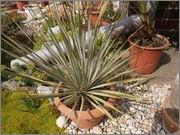 Mrazuodolné juky - rod Yucca P4190805