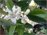 Pomerančovníky - Citrus sinensis - Stránka 2 2014_05_28_15_46_36