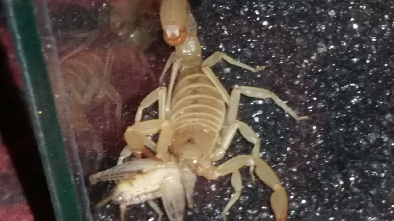 """This guy was labled """"Deathstalker"""" at the vivarium...  I don't think it's even a buthidae... 20150829_210954"""