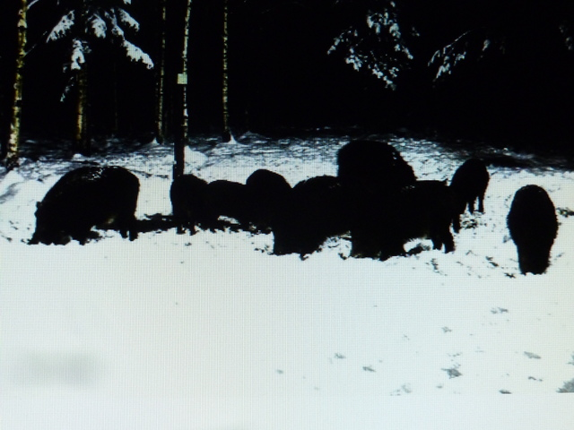 Boar cam Winter 2014-2015 - Page 3 2014_12_24_2e_serie_boars_23_04_001