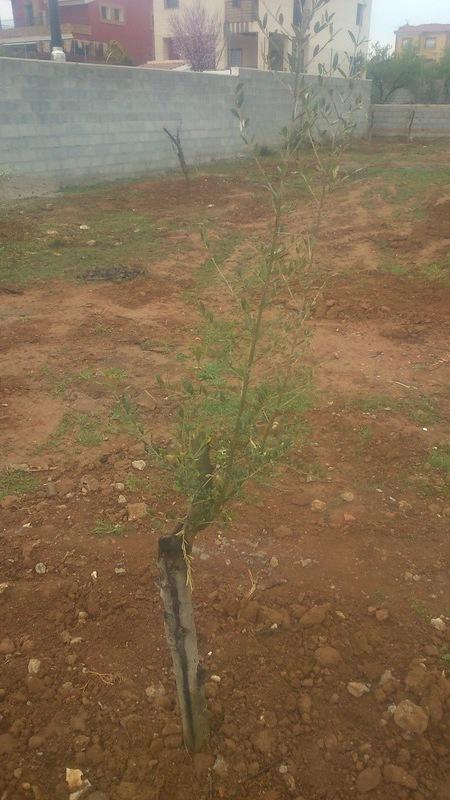 Crecimiento de plantones olivo - Página 9 2dtq2z6