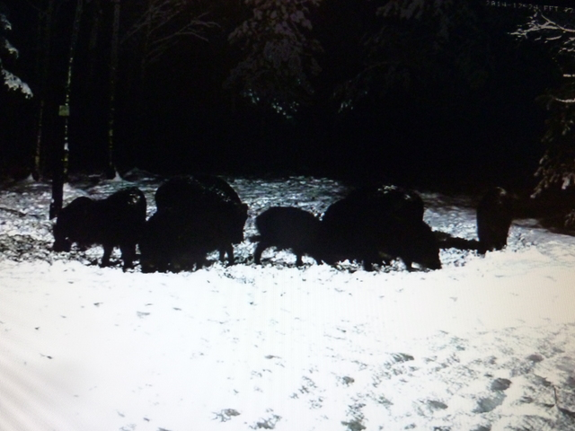 Boar cam Winter 2014-2015 - Page 3 2014_12_24_nervous_boars_listening_much_002