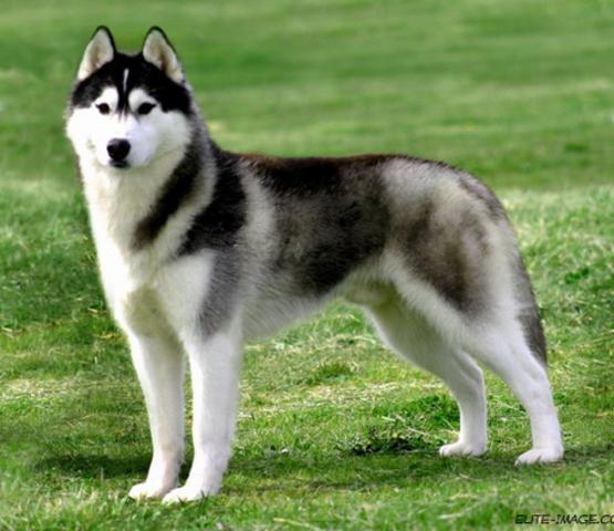 Sibirski Husky Clark