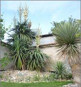 Mrazuodolné juky - rod Yucca - Stránka 6 10_6_2014_z_o_7
