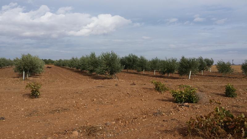Variedad de olivos (Granada) 20151018_111913