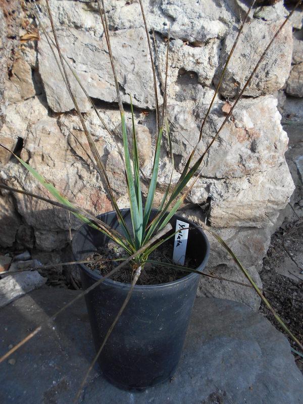 Mrazuodolné juky - rod Yucca - Stránka 5 DSCN0629