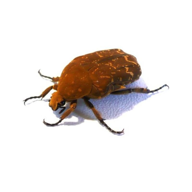 New Dispo : Coléoptères et Arthropodes 2621_thickbox_default