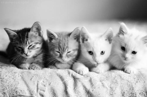 مآدمتُ أنآْ موِجو و و ده فَ جميعُ النساء أشآععه - صفحة 2 Beautiful-black-and-white-cat-cute-Favim.com-676026
