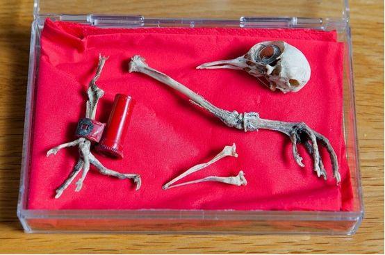 NOTICIA: Hallan restos de paloma mensajera de la SGM  Mensaje_palomo_esqueleto