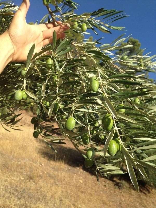 ¿De qué variedad son estas olivas? (Almería) Img_1910