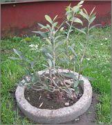 Olea europaea - olivovník evropský IMG_1997
