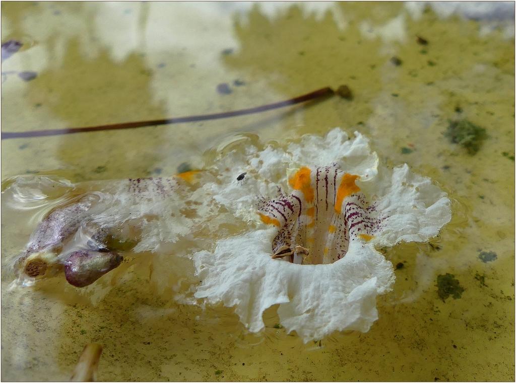 floraison de notre parasol naturel P1090062