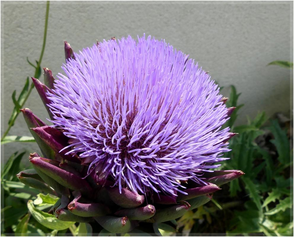 Flore d'artichaud ... P1090957