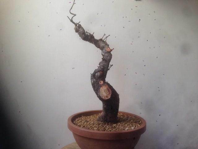 prunus mahaleb grossa talea IMG_0246