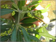 Olea europaea - olivovník evropský P8240460