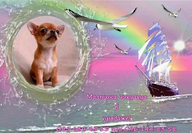"""Щенки чихуахуа """"от Кинг Ин"""" Д.р. 22.06 15 Vip_Talisman50"""