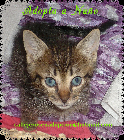 Nuño gatito de 1,5 meses urge hogar-Sevilla N5_Vetm_P
