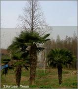 Variety Trachycarpusu fortunei IMG_7325_1