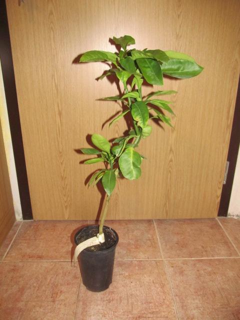 Pomela (Šedok) - Citrus grandis IMG_2038