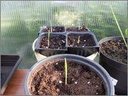 Variety Trachycarpusu fortunei P5220729