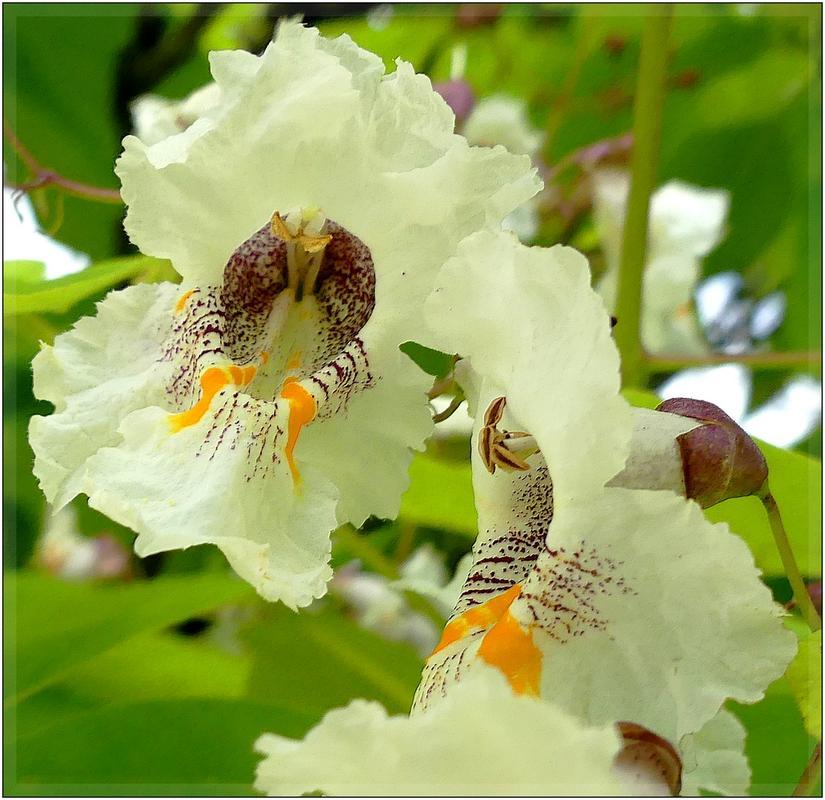 floraison de notre parasol naturel P1090038