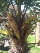 Trachycarpus fortunei, část 2 - Stránka 11 31393220_2132007440363890_1465075866504527872_n