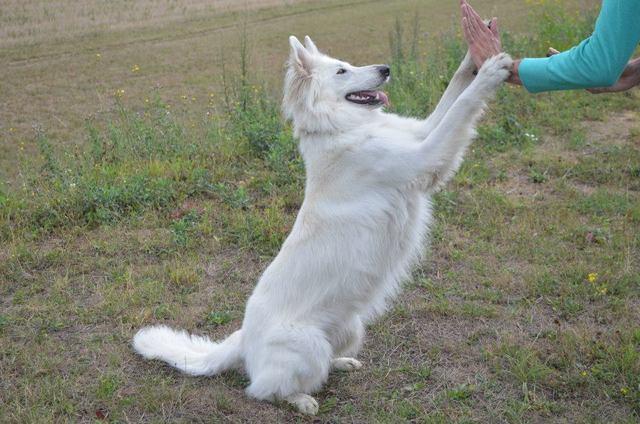 Beli švicarski ovčar, berger blanc suisse, white swis shepherd, witte herder,swtitzserse weisse shafferhund 1236771_702807009733335_834636233_n