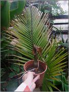 Tropické cibuloviny (Zmijovce, atd) DSCF0175