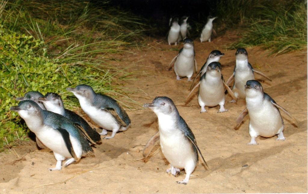 Pingvini - Page 3 9sgpph09cdv