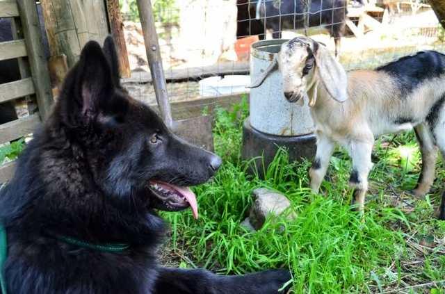 Alaskan noble companion dog 2vx3qpu