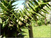 Araucaria araucana 16_6_2015_11