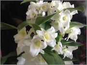 Specii si modele de orhidee parfumate Image